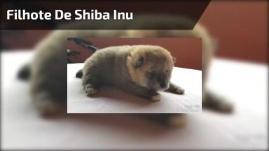 Filhote De Shiba Inu, Uma Fêmea Muito Linda, Parece Um Ursinho!