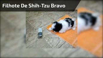 Filhote De Shih-Tzu Bravinho Com Barulho De Sapo Do Celular, Veja Que Fofura!