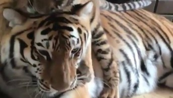 Filhote De Tigre Dando Muito Amor Para Sua Mamãe, Que Cena Mais Linda!