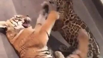 Filhote De Tigre E Filhote De Onça Pintada Brincando, Que Lindezas!