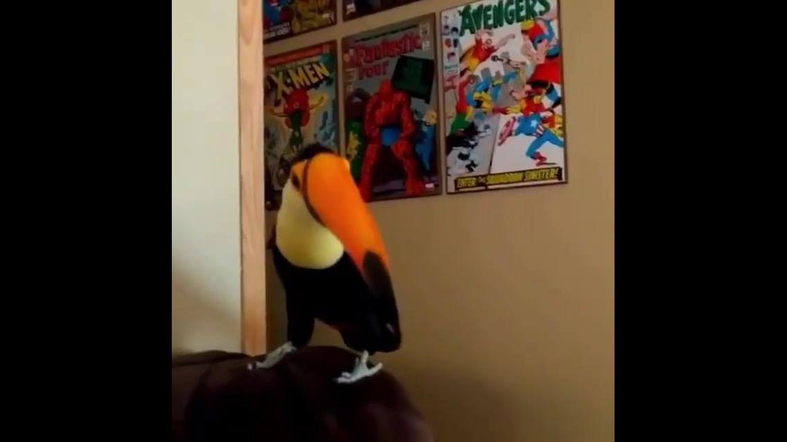 Filhote de tucano dando um oi dentro da casa de alguém