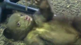 Filhote De Urso É Encontrada Abraçada A Sua Mãe Morta, E Resgatada!