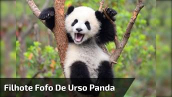 Filhote De Urso Panda Faz Perseguição Obsessiva, Impressionante!