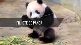 Filhote De Urso Panda Não Da Sossego Para Seu Tratador, Muito Fofo!
