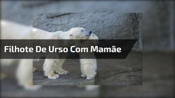 Filhote De Urso Polar Cai Na Água, E Mamãe Não Exita Em Salva-Lo. Confira!