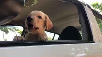 Filhote Não Quer Ficar Dentro Do Carro, Olha Só Como Ele Esta Latindo Bravo!