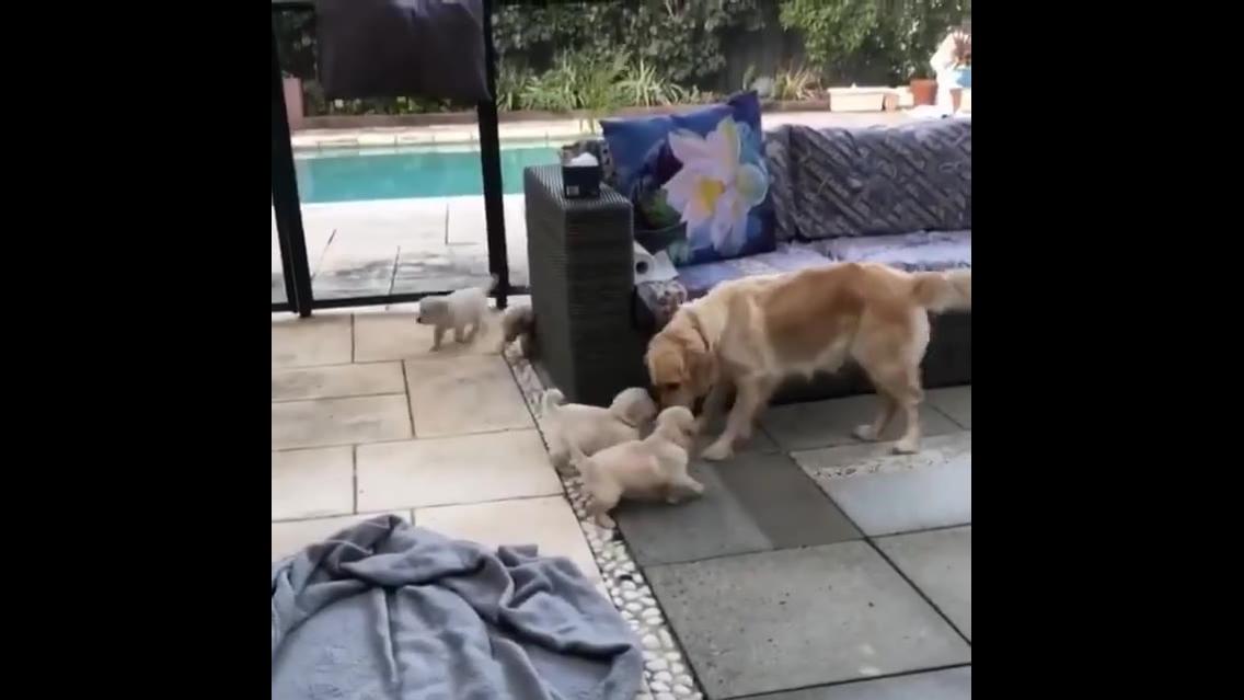 Filhotes de cachorro atacando a mamãe, momento fofura do dia!!!