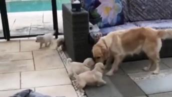 Filhotes De Cachorro Atacando A Mamãe, Momento Fofura Do Dia!