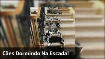 Filhotes De Cachorros Dormindo Na Escada, Olha Só Como São Comportados!