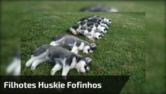 Filhotes De Cachorros Huskie Dando Show De Fofura, Confira!