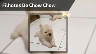 Filhotes De Chow Chow Branco, Veja Que Coisinha Mais Fofinha!