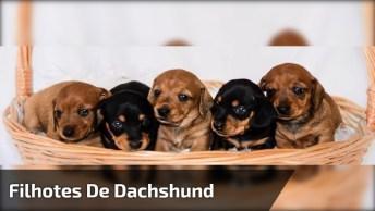 Filhotes De Dachshund, Olha Só Que Coisinhas Mais Lindinhas!