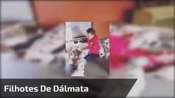 Filhotes De Dálmata Atacando Garotinha, As Imagens Mais Fofa Que Você Vai Ver!