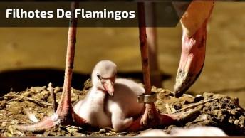 Filhotes De Flamingos Indo Tomar Banho No Lago, Eles Se Divertem!