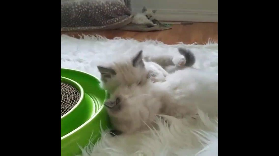 Filhotes de gatinhos brincando