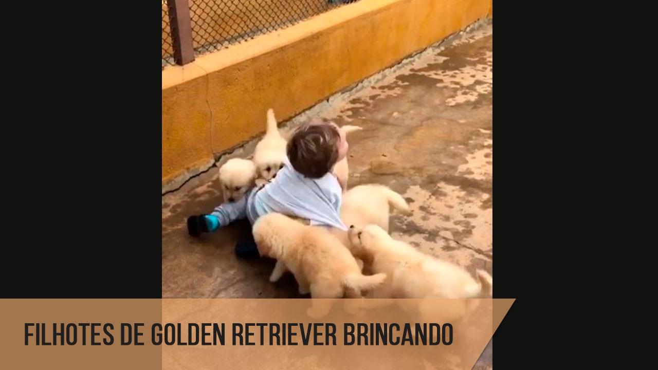 Filhotes de golden retriever atacando garotinho com muito amor