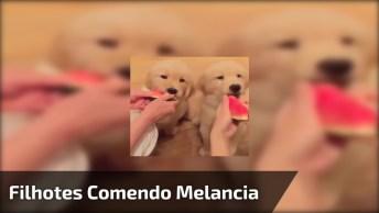 Filhotes De Golden Retriever Comendo Melancia, Olha Só Como Eles Gostam!