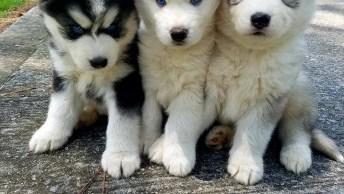 Filhotes De Husky Siberiano, Como É Lindo Esta Raça De Cachorro!