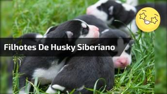 Filhotes De Husky Siberiano, Como São Lindinhos Estes Animais!