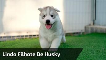 Filhotes De Husky - Uma Raça De Cachorro Que É Muito Linda!
