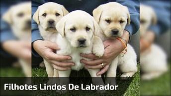 Filhotes De Labrador Bebendo Água, É Muita Fofura Em Um Único Vídeo!