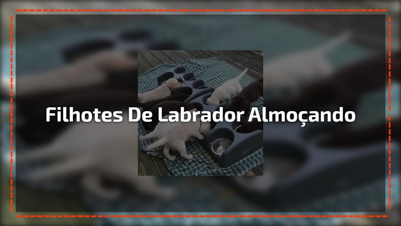 Filhotes de Labrador almoçando