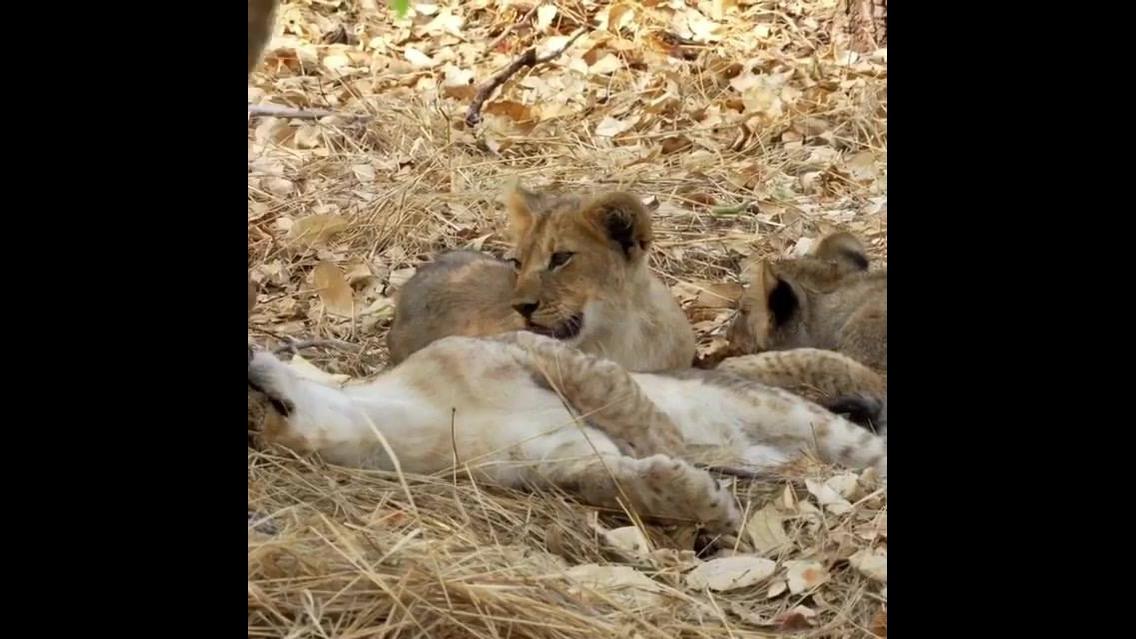 Filhotes de leões descansando de baixo de uma sombra