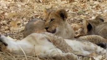 Filhotes De Leões Descansando De Baixo De Uma Sombra, Veja Que Lindos!
