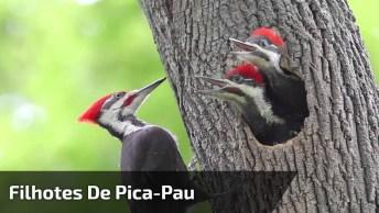 Filhotes De Pica-Pau Chamando A Mamãe Para Comer, Olha Só Que Lindinhos!