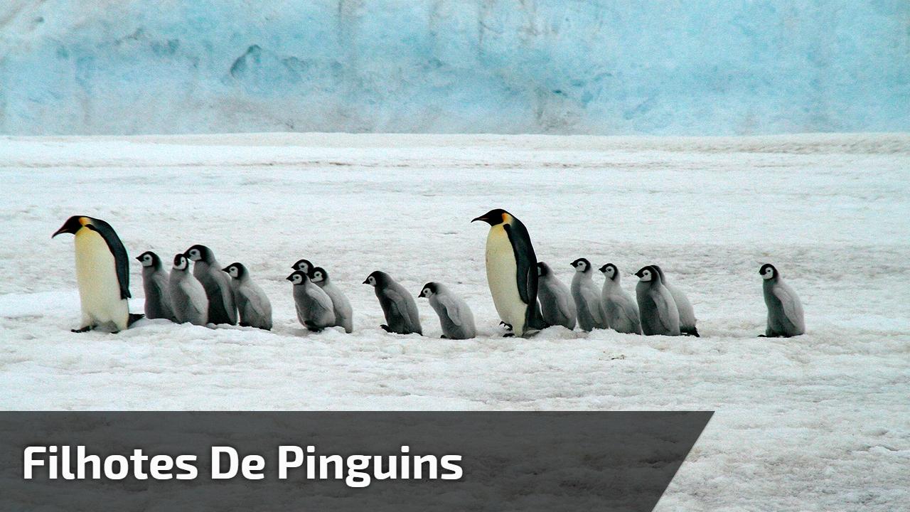 Filhotes de pinguins