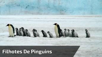Filhotes De Pinguins Andando Todos Juntos, O Vídeo Mais Fofo Que Você Vai Ver!