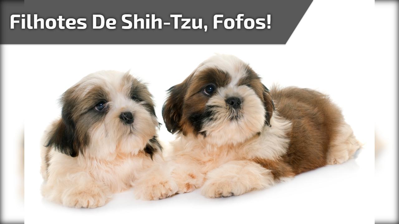 Filhotes de Shih-Tzu, fofos!