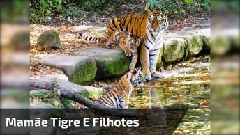 Filhotes De Tigres Com Sua Mamãe, Olha Só Como Eles São Lindos!