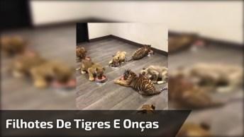 Filhotes De Tigres E Onças Na Hora Do Jantar, Quantos Bichinhos Juntos!