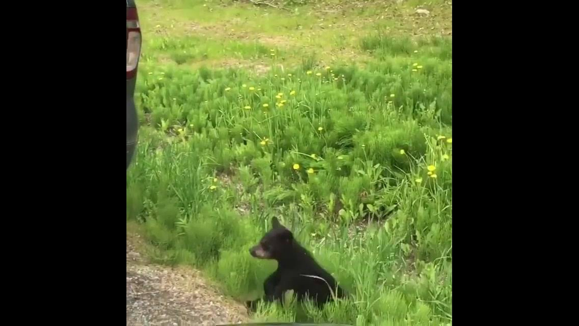 Filhotes de urso-negro com sua mamãe, veja que coisa mais linda!!!