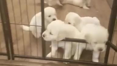 Filhotes Fofinhos Fugindo Do Cercadinho, Olha Só Que Belezinhas!
