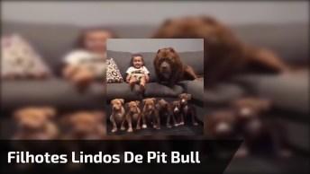 Filhotes Lindos De Pit Bull, Olha Só A Carinha Da Mamãe, Que Fofinhos!
