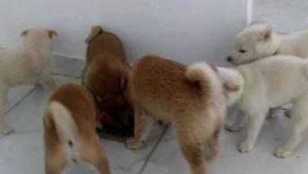 Filhotes Shiba Inu, Um Cachorro Cheio De Energia Que Adora Ar Livre!