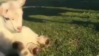 Filhotinho De Cabra Dando Seus Primeiros Passinhos, Como O Mundo Animal É Lindo!