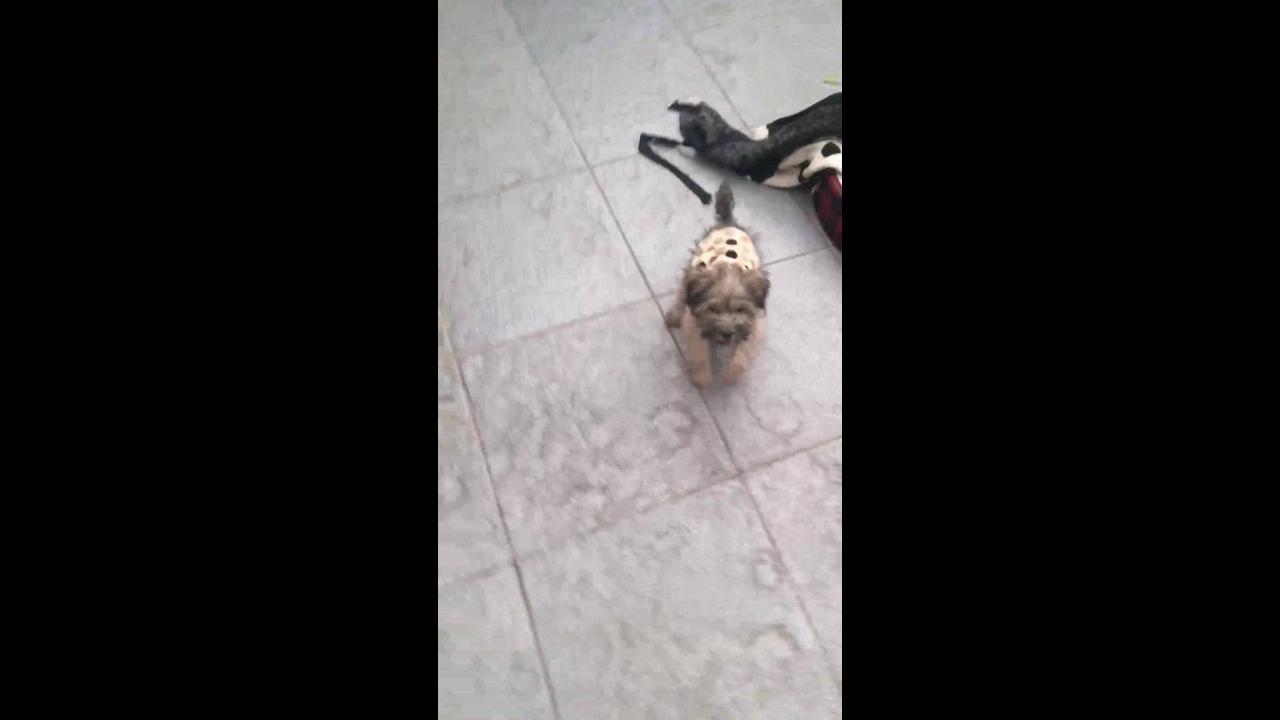 Filhotinho de cachorro de 2 meses latindo em brinquedinho