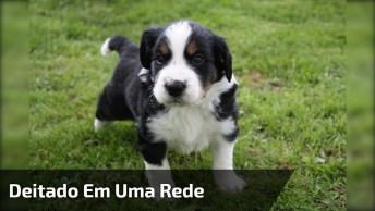 Filhotinho De Cachorro Deitado Em Uma Rede Feita Para Ele, Olha A Folga!