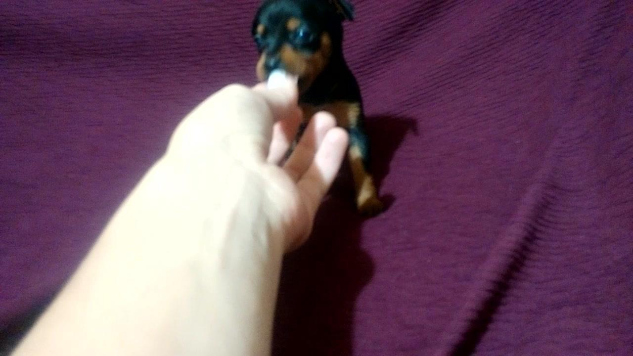 Filhotinho de cachorro super pequeno