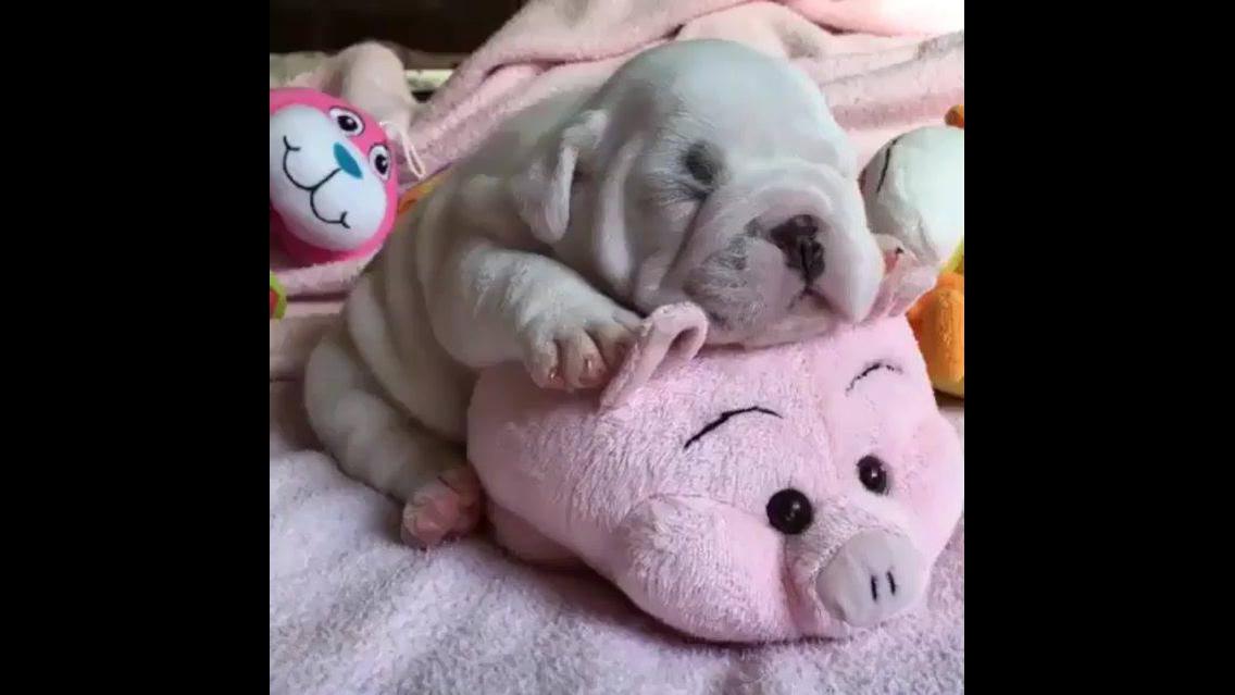 Filhotinho de cachorro tirando uma soneca
