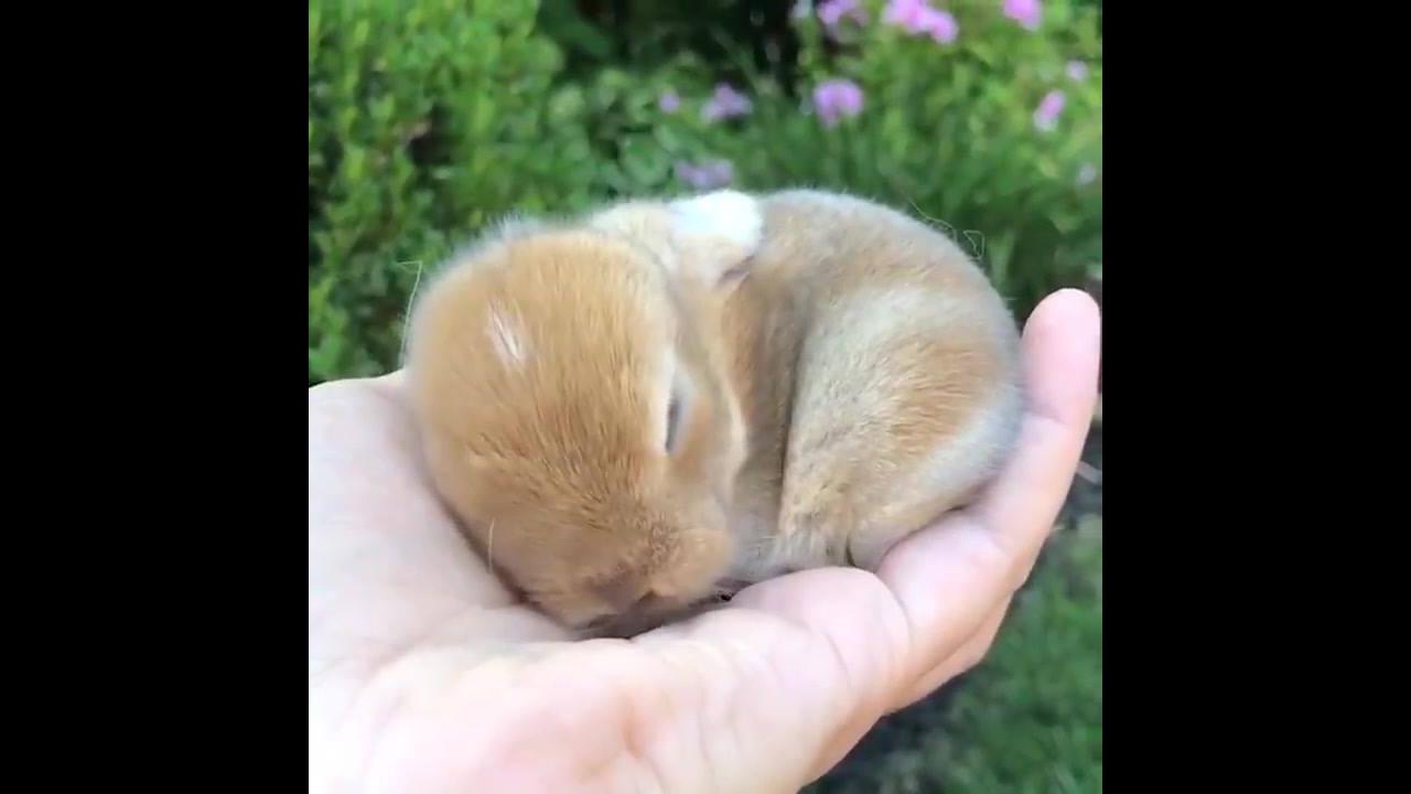 Filhotinho de coelhinho que cabe na palma da mão
