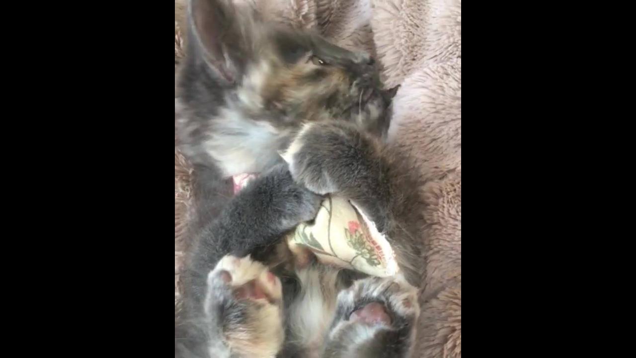 Filhotinho de gatinho agarrado com seu travesseiro