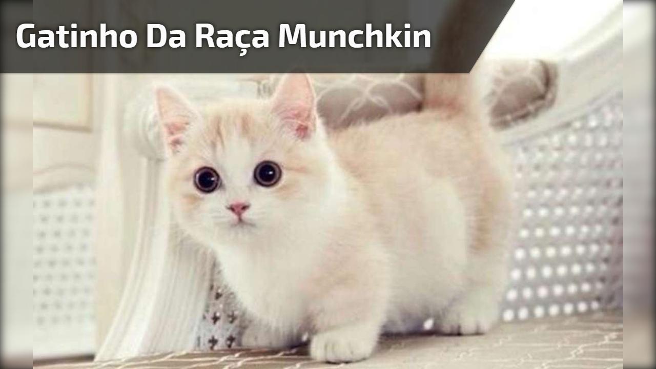 Filhotinho de gatinho da raça munchkin, olha só como é bonitinho!!!