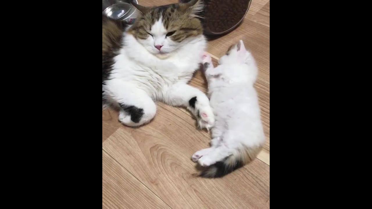 Filhotinho de gatinho lambendo a mamãe