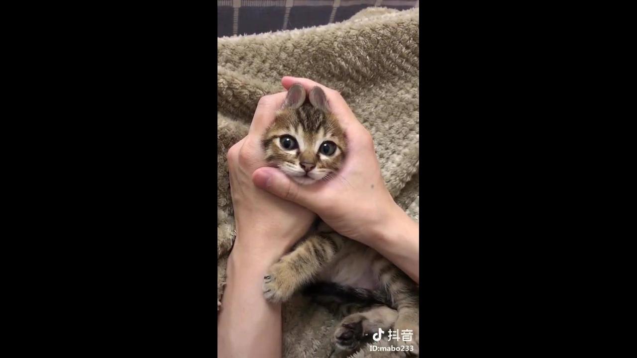 Filhotinho de gato brincando com as mãos de seu dono