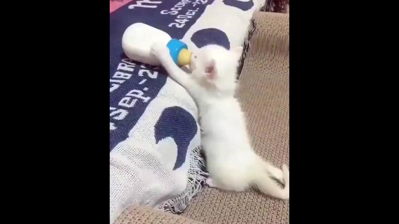 Filhotinho de gato mamando na mamadeira