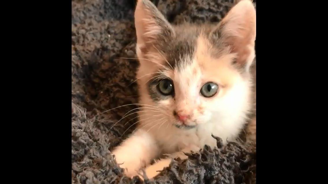 Filhotinho de gato tentando mamar na coberta